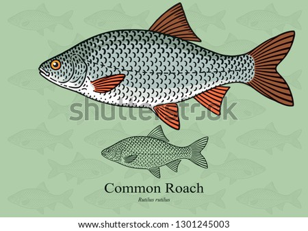 Common Roach. Vector illustration with refined details and optimized stroke that allows the image to be used in small sizes (in packaging design, decoration, educational graphics, etc.)