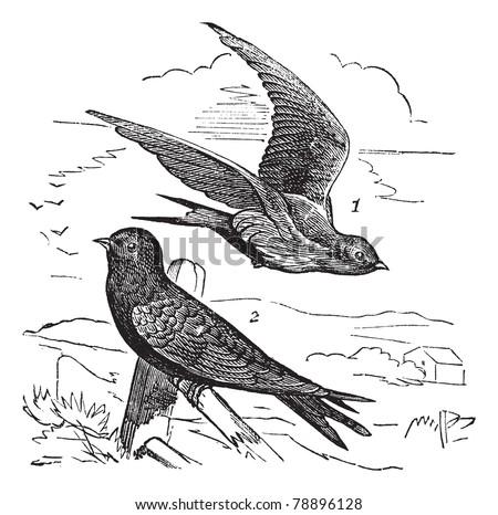 common swift or apus apus ...