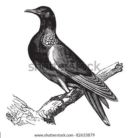 common wood pigeon  columba