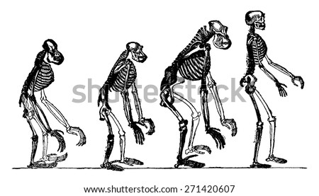 Compared skeletons of the orang, chimpanzee, gorilla and man, vintage engraved illustration. Earth before man 1886.