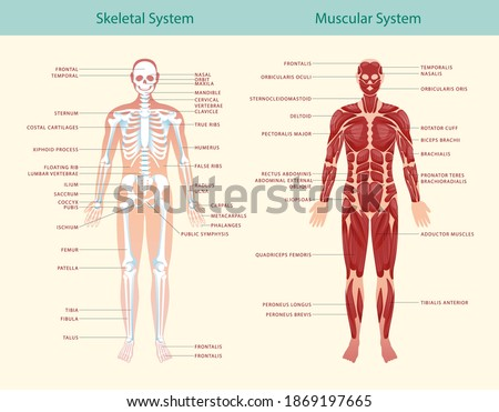 Complete educational guide poster of anatomy of muscular and skeletal systems showing human figure from frontal vector illustration Сток-фото ©