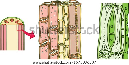 Complex permanent tissues are also called conducting tissues. They are of two types: xylem and phloem