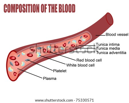 Composition of the blood (blood vessel cut section), vector illustration (for basic medical education, for clinics & Schools)