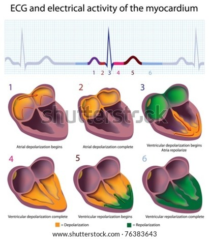 Connection between ECG and electrical activity of the heart