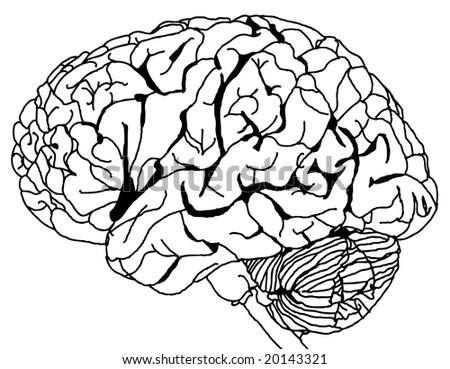 external image stock-vector-contour-line-drawing-of-a-brain-vector-20143321.jpg