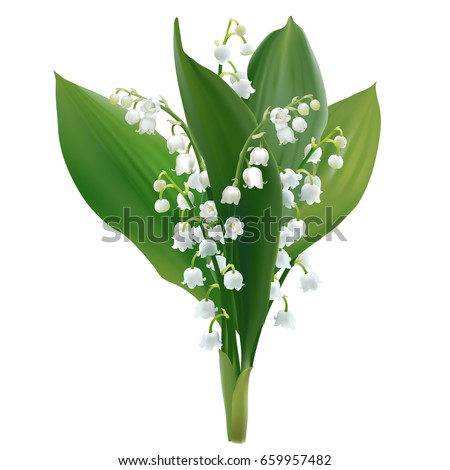 Convallaria majalis - Lilly of the valley. Hand drawn vector illustration of a bouquet of white spring flowers and lush foliage on transparent background.