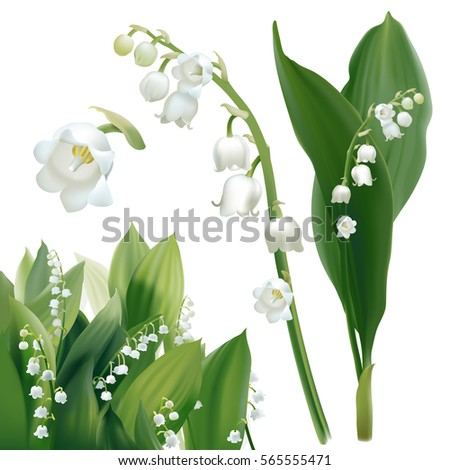 convallaria majalis   lilly of