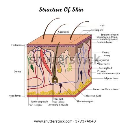 coor vector structure of skin
