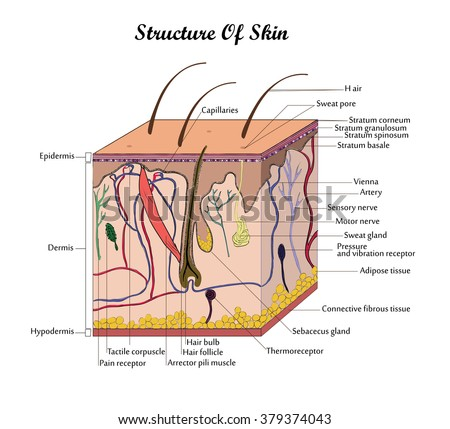 coor vector structure skin with