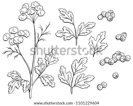 Coriander cilantro plant graphic black white isolated sketch set illustration vector