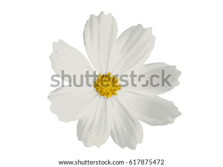 cosmos flower isolated on white