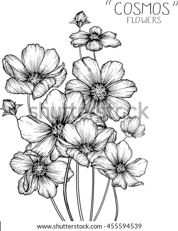 cosmos flowers  clip art  or illustration. #455594539