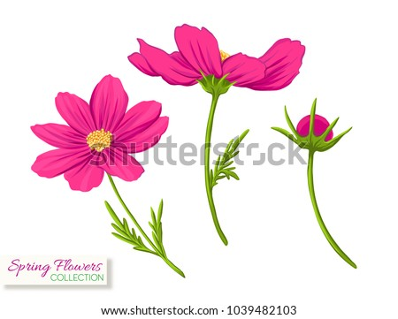 cosmos flowers colorful