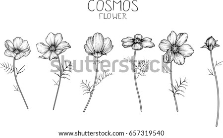 cosmos flowers drawing and
