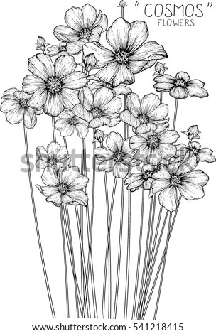 cosmos flowers drawing