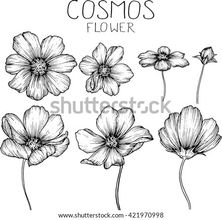 cosmos flowers  drawings vector #421970998