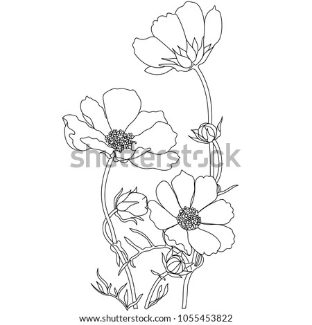 Cosmos flowers drawings vector.All sketches objects isolated on white background. Vector sketch of blooming flowers.Blooming forest flowers , detailed hand drawn vector illustration.
