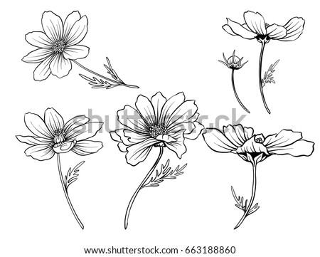 cosmos flowers set of outline