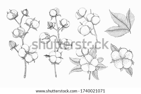 Cotton vector set. Sketch of cotton branch and flowers isolated drawing on white background. Hand drawn elements for label, package. Soft and fluffy fiber from cotton plants. Cellulose.