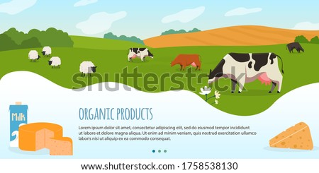 Cows in farm vector illustration. Cartoon flat rural countryside landscape with green grass meadow and herd of animal sheep cows, eco production of organic milk and meat, dairy products background