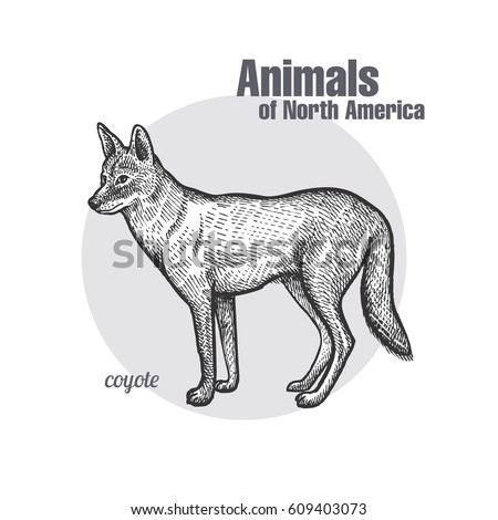 coyote hand drawing animals of