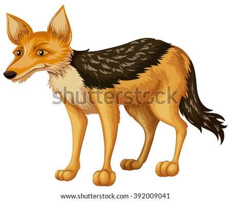 coyote on white background