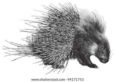 Crested Porcupine (Hystrix cristata) / vintage illustration from Meyers Konversations-Lexikon 1897 - stock vector