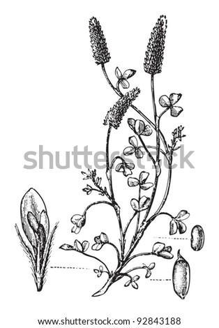 crimson clover  trifolium