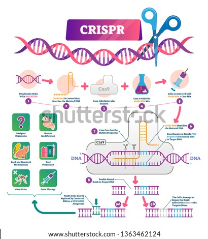 CRISPR vector illustration. Labeled clustered regularly palindromic repeats educational scheme. Diagram with explained gene RNA and DNA modification process and uses. Molecular mutation infographic.