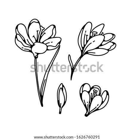 crocus bud and bloom flower