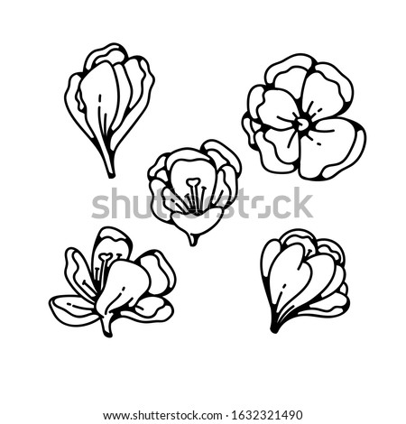 crocus bud flower spring