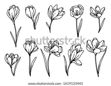 crocus flower spring primroses