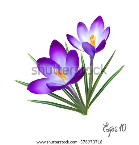 crocus flowers isolated on