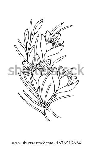 crocus flowers  saffron vector