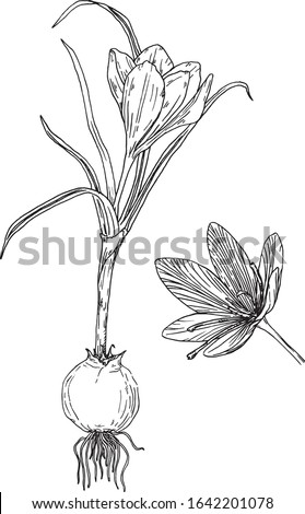 crocus hand drawn illustration
