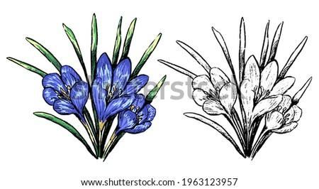 crocus spring wild flower hand