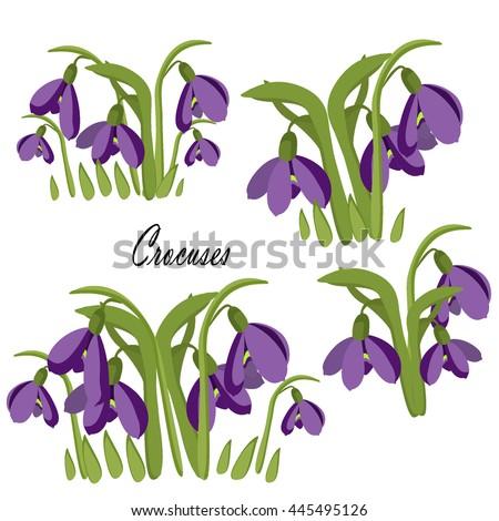 crocuses set of spring  purple