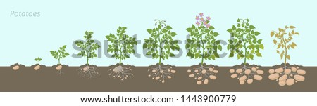 Crop stages of potatoes plant. Growing spud plants. The life cycle. Harvest potato growth progression In the soil. Сток-фото ©