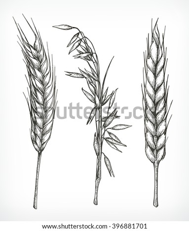 crops  wheat and oat sketches
