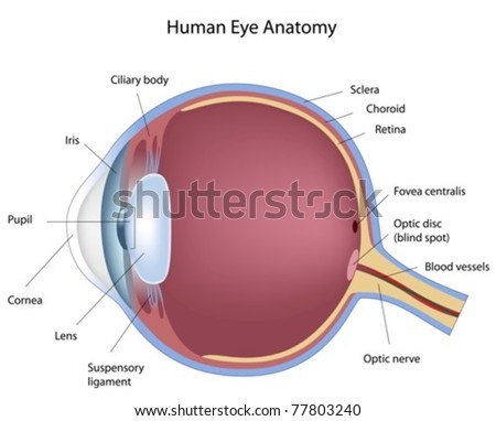 cross section of human eye