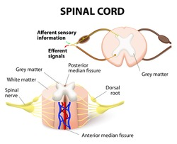 cross-section of spinal cord. Central nervous system