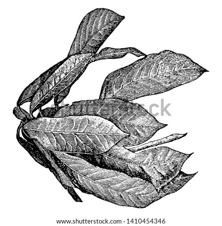 Croton plant has thick, leathery leaves that have a shiny surface, and this plant also used as ornamental plant, vintage line drawing or engraving illustration.