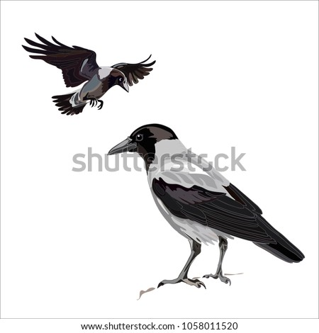 crow sitting and flying