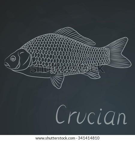 crucian carp  freshwater fish