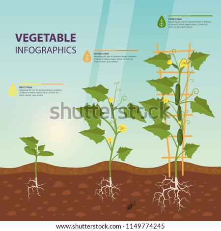 Cucumber growth rates as infographic template, ripe cuke with flowers on trellis as agriculture infochart, vegetable infochart and creeping vine on soil. Harvest and garden, natural nutrition theme