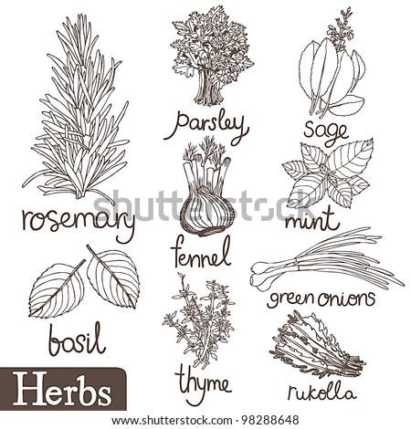 Culinary herbs set - stock vector