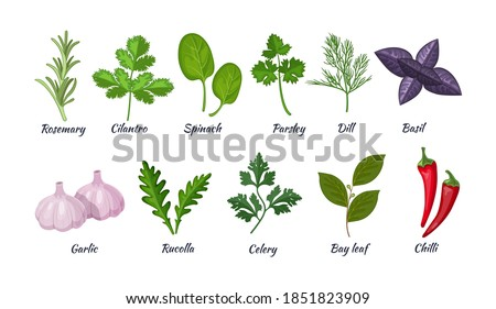 Culinary herbs set. Natural culinary herbs and spices for cooking, eating, food. Rosemary, cilantro, spinach, parsley, dill, basil, garlic, rucolla, celery, bay leaf, chili vector