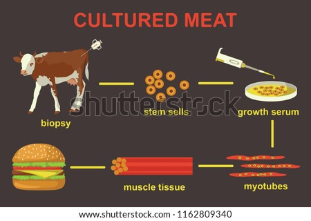 Cultured lab-grown meat infographics. Synthetic in vitro food concept. Biotechnological process with muscle stem cells, beef and tissue in laboratory. Color vector illustration
