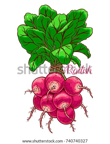 cute bunch of ripe radish. hand-drawn illustration