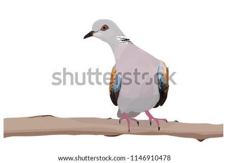 Cute dove. European Turtle Dove. Vector image. White background. Zdjęcia stock ©